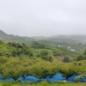 雨の梅畑。