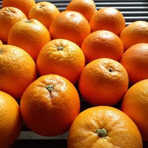 国産バレンシアオレンジ。