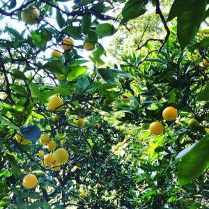 令和元年の柑橘。