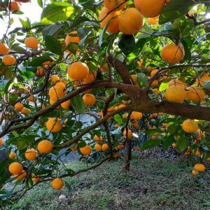 梅は素手、蜜柑はハサミ。