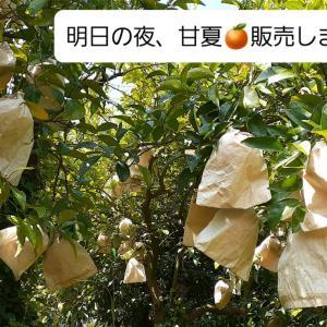 樹上完熟甘夏みかん。