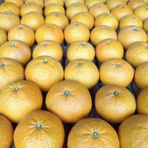 甘夏とニューサマーオレンジ