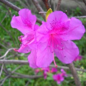 東村山25 「ツツジ」市の花