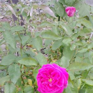 二度目の開花