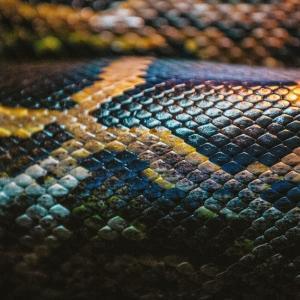 山菜摘みに地元の山へ入った時のこと。 頭よりも少し高い梢から、黒い蛇が鎌首を覗かせているのに気がついた。