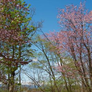 林で咲く桜