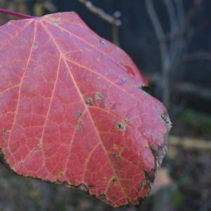 背戸の紅葉