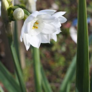 新春の一番花