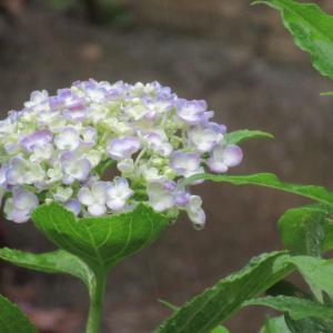 梅雨いりしても、開花