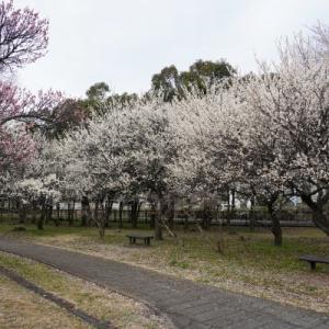 大宮第二公園の梅