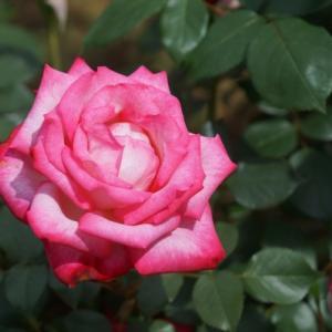 智光山公園のバラ その5