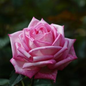 智光山公園の秋バラ その9