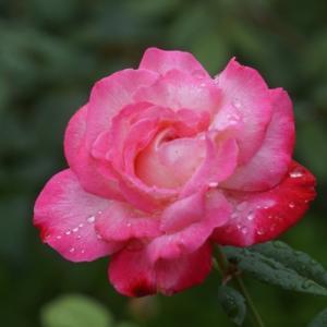 智光山公園のバラとアジサイ