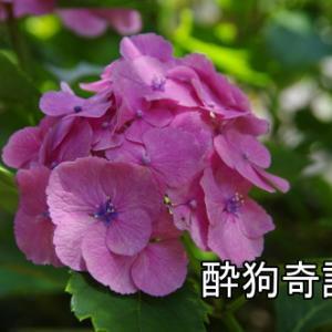 本土寺の紫陽花 2020