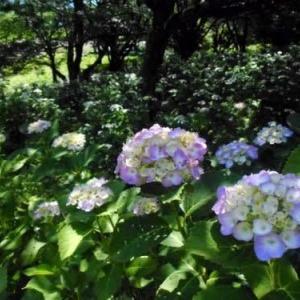 東那須野公園のアジサイ 2020/6