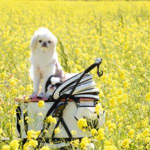 日野菜の花畑(元気な百姓達の菜の花畑)犬連れ