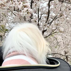 3月31日南池袋公園は桜満開