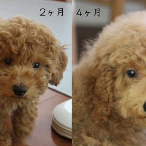プードル4ヶ月間の顔の成長。