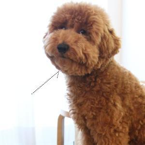 あごを引く、トイプードル子犬。