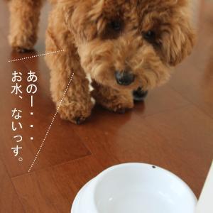 「お水ちょーだい」のアピールが激しいトイプードル子犬。