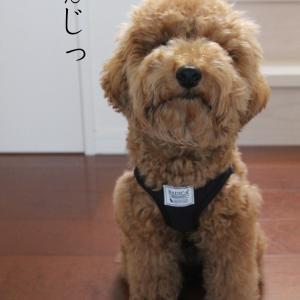 トイプードル子犬の「まて」4シーン。