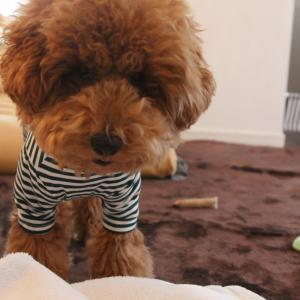 ロンパースを着るとスマートになるトイプードル子犬。