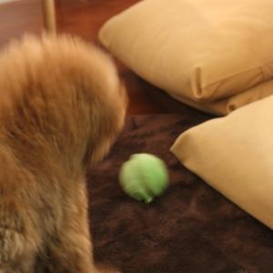 トイプードルに動くボールを渡したら、まさかの!?