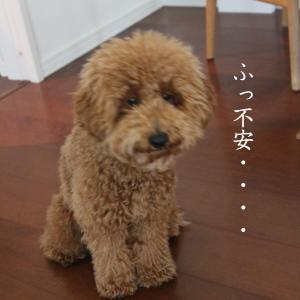 シャンプーで別犬になるトイプードル子犬。