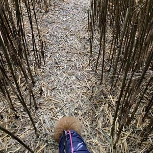 トイプードルパピーと、のんびり散歩するお正月。