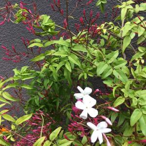 ジャスミンの花が咲きました。