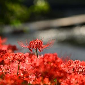 赤い花の風景