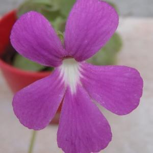 3月から咲き続けるムシトリスミレ