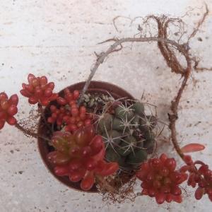 サボテンの雑草としてのオーロラ