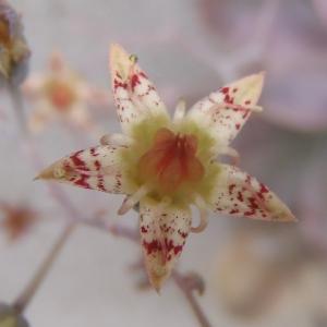 パープルディライト開花!