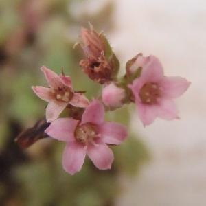 クーペリーが開花!