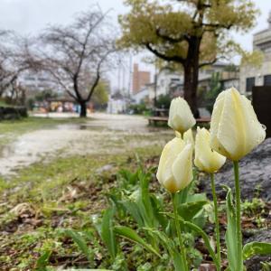 桜、雨の公園