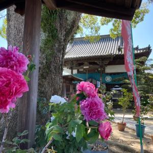 明浄院の牡丹の花