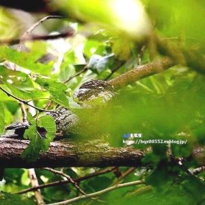 葉隠れヨタカ(夜鷹)