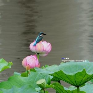 蓮にカワセミ ⑤
