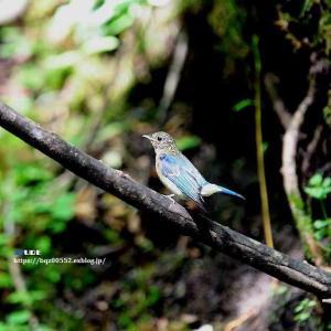 水場のオオルリ(幼鳥 雄)