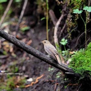 水場のオオルリ(幼鳥 雌)