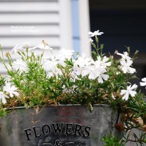 自宅庭の花 クレマチス他