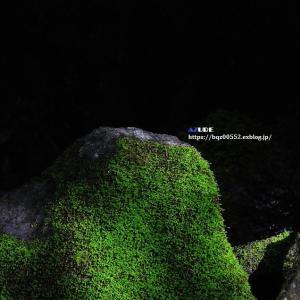 苔むした岩にキビタキ