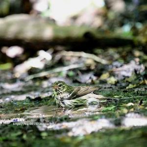 水浴びに来たクロツグミ(雌)