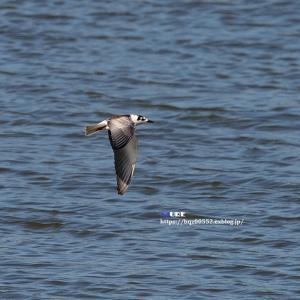 ハジロクロハラアジサシ (羽白黒腹鯵刺)