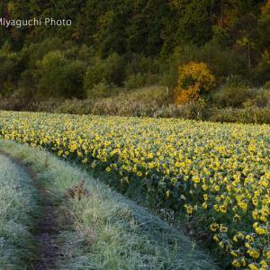 しばれる朝のひまわり畑