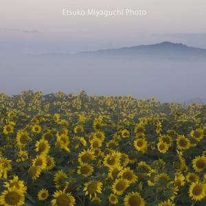 霧朝のひまわり畑