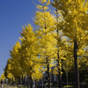 住宅街のイチョウ並木