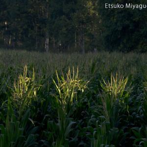 とうきび畑