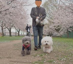 桜さんぽ♪の巻